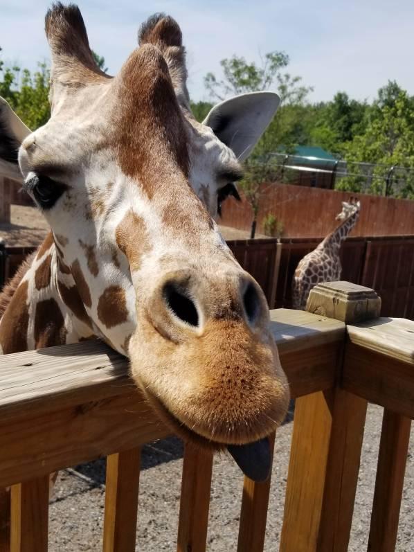 Jazz the Giraffe