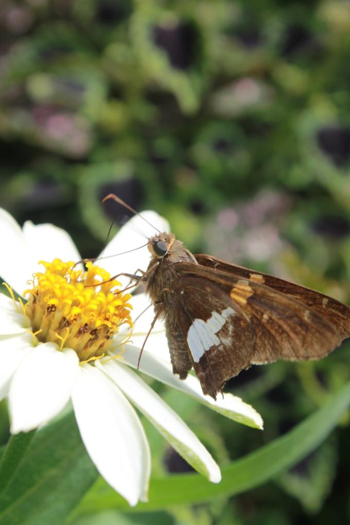 Daisy Moth