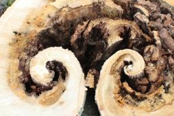 Curly Stump