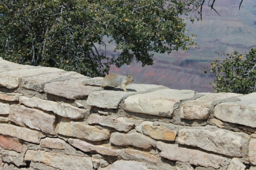 Grand Canyon Squirrel