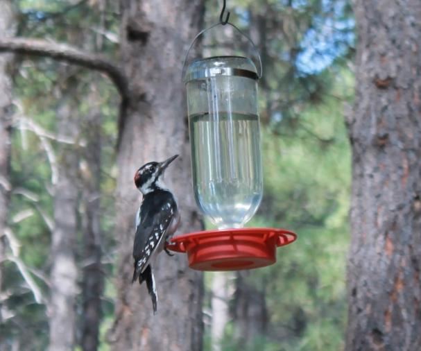 AZ Woodpecker