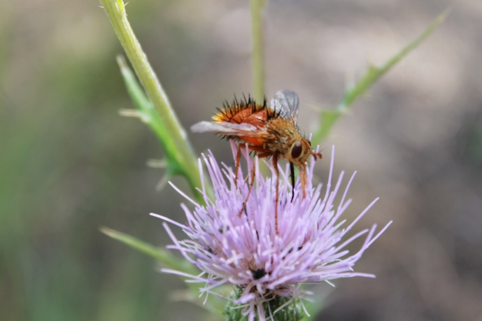 Arizona Bug