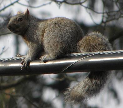 Ohio Squirrel