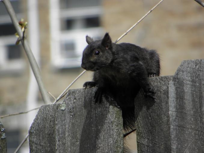 PA black squirrel