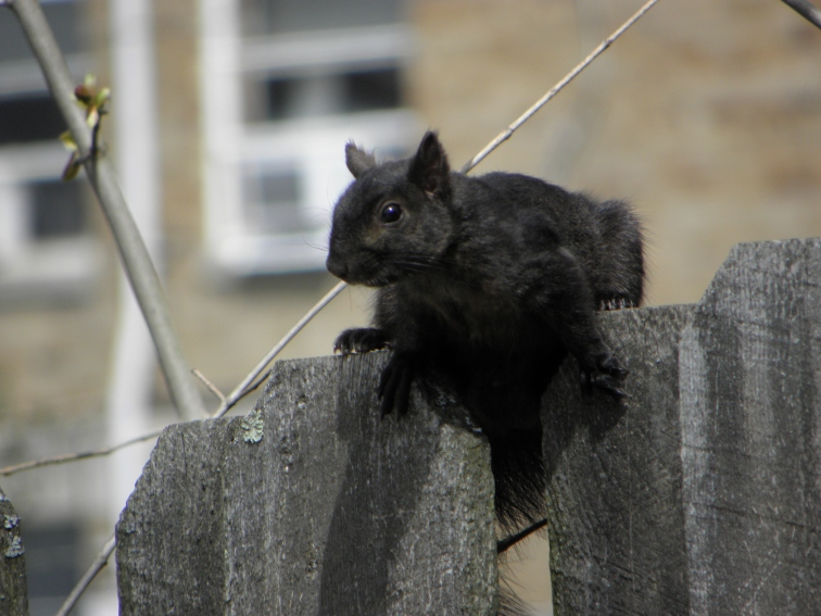PA black squirrel