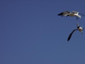 Fighting Gulls