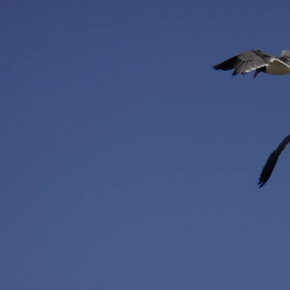 Fighting Gulls