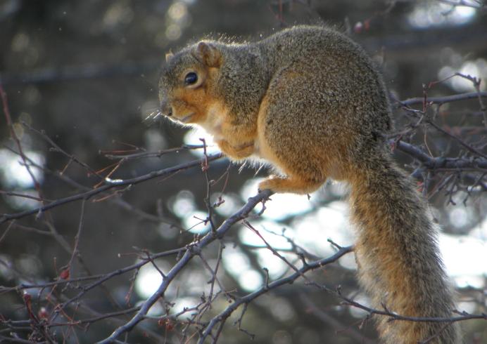 Michigan Squirrel